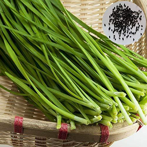 Sytaun 500 Unids Deliciosas Semillas De Cebollino Chino Jardín Jardín Cebolla Verde Planta Vegetal Fácil De Plantar, Planta Ornamental Semillas de cebollino Chino