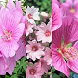 3 x Lavatera Mix Inv Varieties Like 'Rosea' - 'Barnsley' - 'Burgundy Wine' - 'Silver Barnsley' Tree Mallow Plants