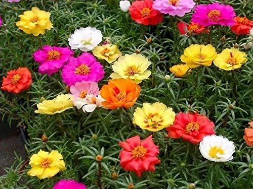 20 graines semences légumes pourpier a double fleurs coloris rose-rouge et jaune pousse rapidement herbe aromatique