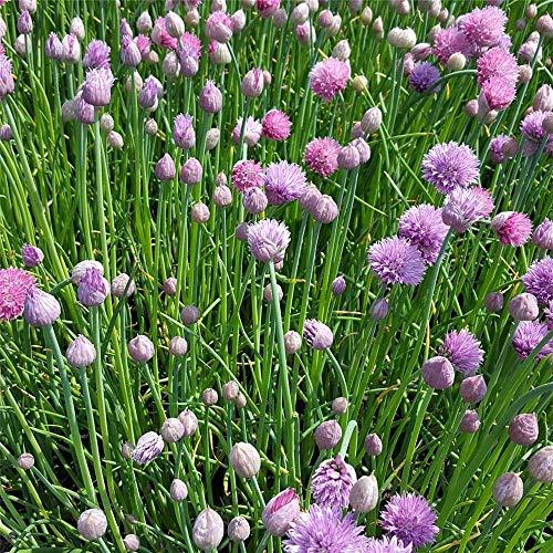 Allium schoenoprasum 'Forescate' - Blüten-Schnittlauch 'Forescate' - 9cm Topf