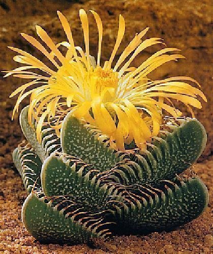 Tropica - cactus - véritable mâchoire de tigre (Faucaria tigrina) - 40 graines