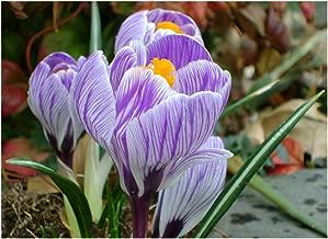 Pickwick' Large Spring Flowering Crocus - King of The Striped x 25 Bulbs - Free UK P & P
