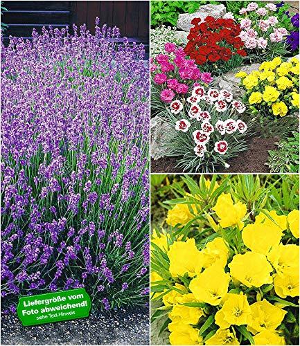 BALDUR-Garten Winterhartes Staudenbeet Bienenweide, 11 Pflanzen Blauer Lavendel, Nachtkerze, Gartennelken in bunter Farbmischung