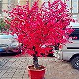 Vendita calda! 10 PCS Red ciliegio giapponese Semi Cortile Giardino Bonsai Semi Piccolo Sakura albero Semi