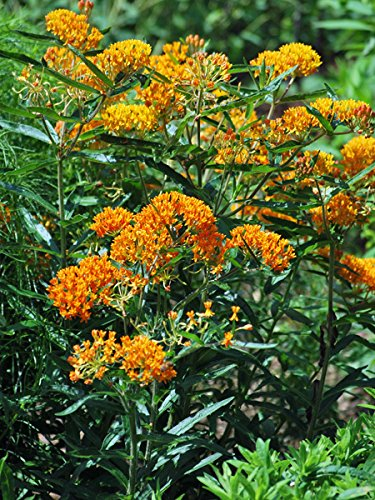 "Deer-Leerious Asclepias tuberosa (Butterfly Weed) Perennial, 4"" Pot, Orange Flowers"