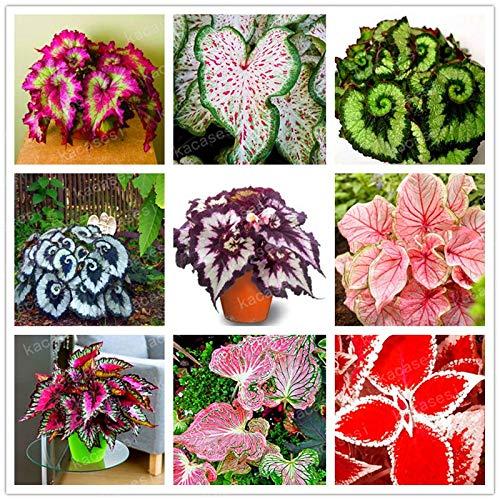 GETSO 100pcs Seltene Coleus Blume Bonsai buntnessel ausdauernde Innen-blühende Pflanzen potte Bunte Blatt Graspflanzen: Mix