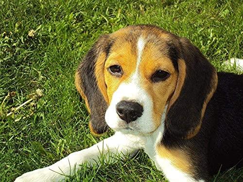 Beagle Cachorro Beagle Hound Dog Canino de Raza pura Rompecabezas para Adultos 1000 Pieza,Madera Rompecabezas de la Familia de que el Juego de la Colección de Juego Educativo de Arte para la P