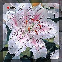 200pcs / bolsa de semillas del lirio raras, no bulbos de lirio, que es la semilla, semillas de flores de lirio de los bonsai, fragancia agradable, planta para el hogar y el jardín