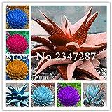 SONIRY Aloe Cameron 100 PC Coloridas Plantas de Aloe Vera Bonsai Herbal suculento de Ollas Comestible Vegetal orgánico Bonsai Flor de la Fruta: Amarillo Claro