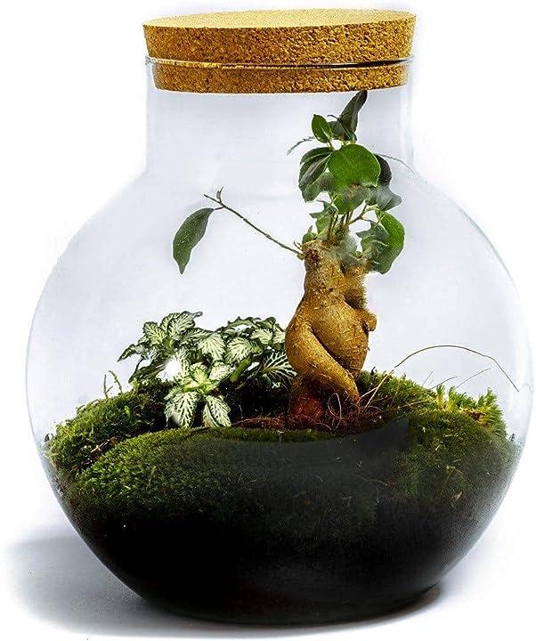 Giardino in bottiglia sostenibile da botanicly: bolder – ficus ginseng (altezza: ca. 30 cm, larghezza: ca. 18 B08CZ3V1KQ