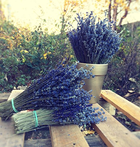 Harrington Marley LARGE BUNCH PROVENCE LAVENDER FLOWERS DRIED FLOWER BOUQUET 300 STEMS FRAGRANT WEDDING CRAFTS DECORATION