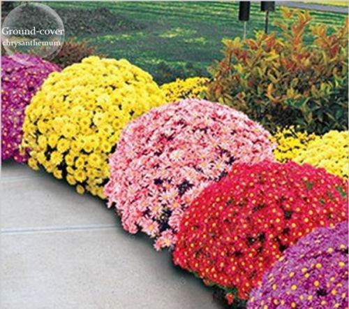 100pcs/sac belle couleur Graines de fleurs rares Tapissant Chrysanthème Graines vivaces Bonsai plantes pour jardin Ornements vert
