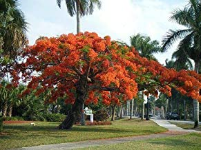CROSO Germination Seeds ONLY NOT Plants: 200 : Delonix Regia Seed 10/25/75/200 Seeds, Red Royal Flowering Poinciana, USA
