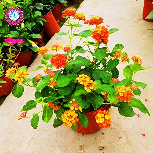 New Lantana Camara en pot Graines 50Pcs / sac Fleurs rares pour le jardin Plantation d'Fleurs Bonsai Semillas de Flores Livraison gratuite 2
