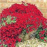Timesok Garden,Semillas de Tomillo Rastrero Cubierta de Tierra Semillas para Decorar Jardines, Balcón y Senderos