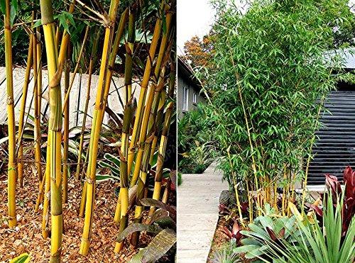 50 pcs \ sac pot hybride, graines rares de bambou, l'air pur, maison décoration rose, couleurs rouge, jaune, vert, bonsaï plantes en pot Violet
