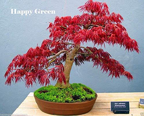Potted plant seeds Bonsai seeds Red JAPANESE MAPLE Acer Palmatum Atropurpureum Tree FRESH Seeds 20PCS W054