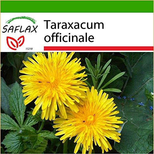 SAFLAX - Diente de león - 200 semillas - Con sustrato estéril para cultivo - Taraxacum officinale