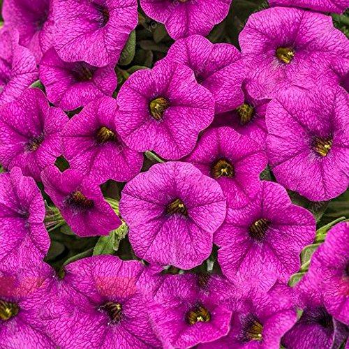 200 pcs jardin graines de pétunia Graines de fleurs plante Petunia bonsaïs Graines Balcon rare cadeau nature navire gratuit pour la décoration de la maison noire