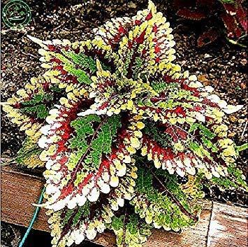 Bonsai Coleus seeds foliage plants perfect color Arc-Dragon Seeds beautiful flower plant garden Semente 30 seeds k42 7