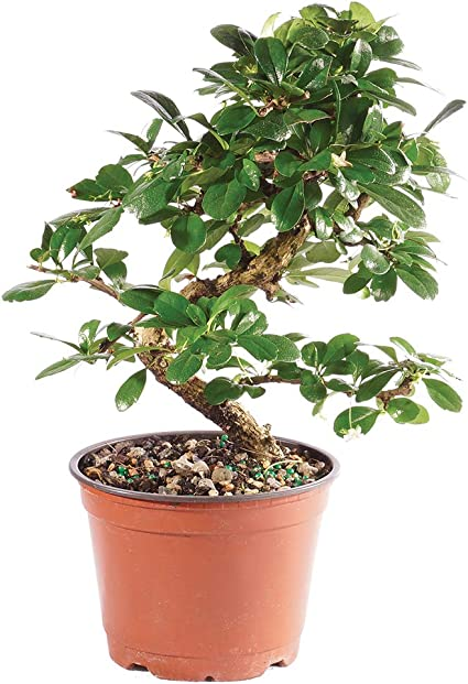 Amazon Com Brussel S Bonsai Live Fukien Tea Indoor Bonsai Tree 6 Years Old 6 To 10 Tall With Plastic Grower Pot Medium Garden Outdoor