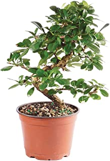 fukien tree bonsai