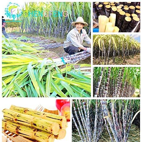 ShopMeeko SEEDS: 100 Stück China pflanzt Gemüse und Früchte Bonsai Außenbonsaipflanzen einfach für Heim & amp zu wachsen; Garten Diy Pflanze Sement: Armee-Grün
