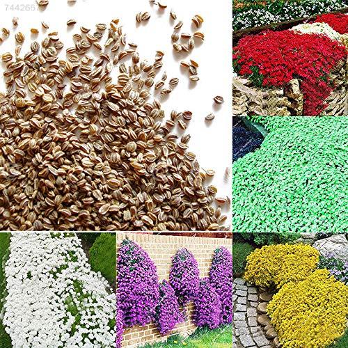 Portal Cool Grün: 27Aa 400D Bodendecker Blumengarten Pflanze Blumensamen Schöne 1Bag 100Pcs