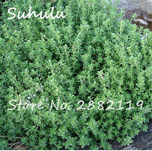 Citron thym herbes Graines 200sesds / sac semences biologiques végétales Thym Citron Mosquito Repelling rampantes 3