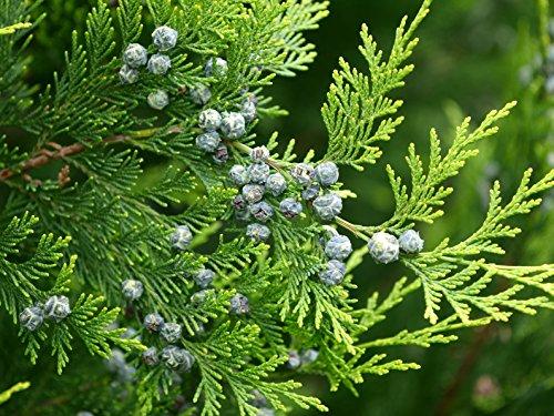 Lebensbaum Thuja occidentalis 150 Samen