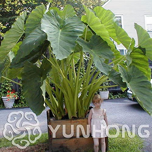 100 Semillas/Paquete Heirloom Alocasia Macrorrhiza Semillas Green Taro Gigante Jardín de Flores Planta Orejas de Elefante Venta Semillas de Plantas de Interior