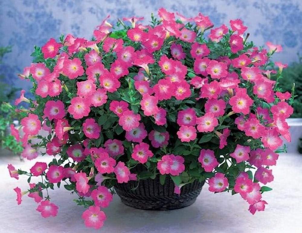 Charm4you Ornamentales Semillas,Balcón jardín Floral semilla-Blanco 100 cápsulas,Maceta para Plantas de jardín/Interiores