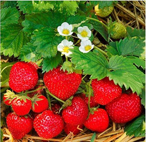 Tomasa Samenhaus- 100 Stück Bio-Erdbeere Obst Saatgut Raritäten Erdbeere Pflanzen zuckersüss Obst Samen großfruchtig Erdbeere Kletternpflanzen für Balkon/Garten