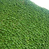 Boston Ivy Seeds - 25+ Seeds to Grow - Covers Buildings, Looks Amazing, Japanese Creeper Cousin