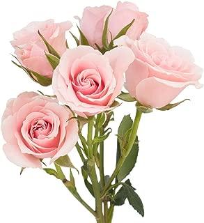 60 Spray Roses - Pink Majolica Variety - XXL Blooms