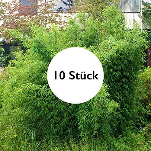 Pflanzen Kölle Bambus-Hecken-Set Fargesia 'Jiuzhaigou 1', 10 Stück, Höhe 125-150 cm, im 25 Liter Topf