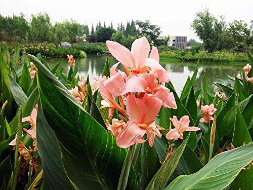 5pcs Canna indica seeds.Perennial énorme graines d'herbes en pot de fleurs pour la maison et le jardin brun rougeâtre plant.Lily Variété Bonsai Seed 5