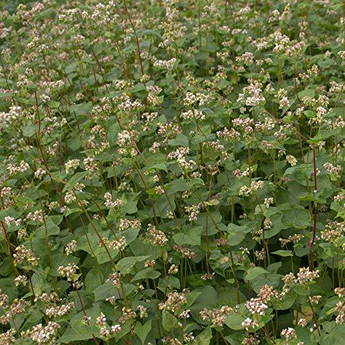 Sarrasin 25 kg Culture Dérobée Bienentracht Fagopyrum Esculentum Unique Semences
