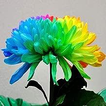 AGROBITS 50Pcs/Bag: 50Pcs Chrysanthemum Rainbow Flower Seeds Plant Bonsai House Garden Color Gytf