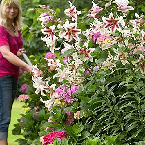 1x Lilien zwiebel Blumenzwiebel Baumlilien winterhart Garten pflanzen Lilien pflanzen Gartenblumen mehrjährig Baumlilie Altari XXL