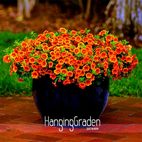 Nouvelle arrivée! Calibrachoa Kabloom Crave Sunset Vigoureux gratuites floraison Graines annuelles Petunia, 100 Pcs / Lot, # CIQTDX