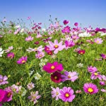 Instant Sunshine 100% Wildflower Seed Mix no Grass, Over 45 Wildflower Species, Wild Flowers from MeadowMania