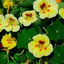 Outsidepride Tropaeolum Nasturtium Peach Melba Vine & Plant Flower Seeds - 200 Seeds