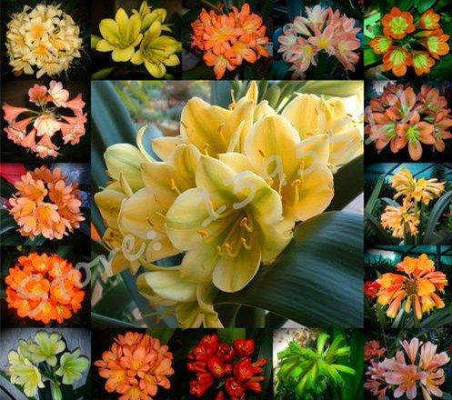1bag = 100 Stück billig Clivia Samen, Clivia eingetopft Samen, Bonsai Balkonblume Haus & Garten
