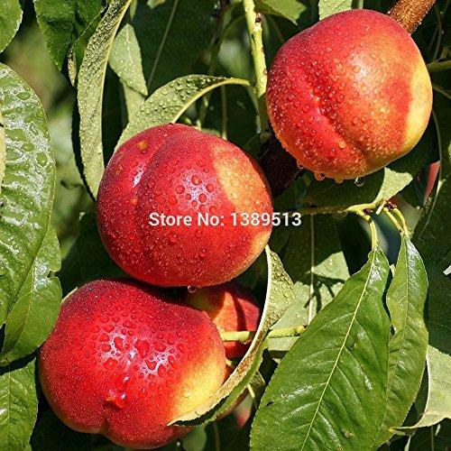 Graines 10PCS pêche Graines Fruits 6 – Graines de pêcher Arbre de la miel douce Shopping libres