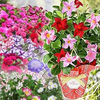母の日 プレゼント ギフト 花 マンデビラ カーネーション 寄植え等 人気のお花たち こだわりラッピング(ゼラニュームカリオペ)