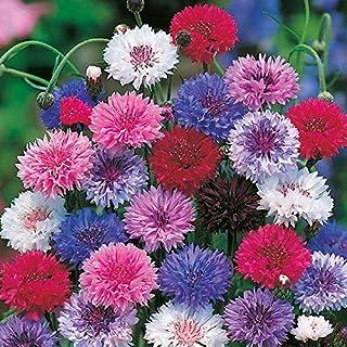 Derlam Samenhaus-100 Pcs Kornblume doppelt Mix Blumensamen zweijährig Blumen Mischung Samen für Garten Terasse