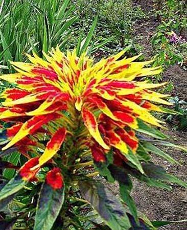 Gemüse-Amarant - Dreifarbiger Fuchsschwanz - 100 Samen