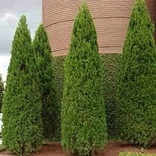 100pcs New Arborvitae Tree Shrub Bush Evergreen Seed, Evergreen Beauty Stater Plant