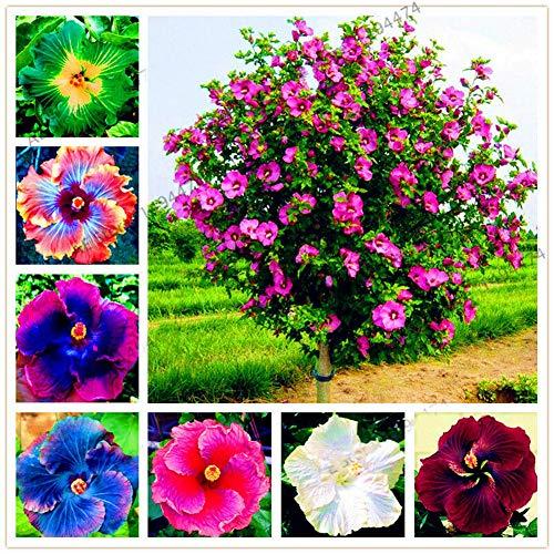 Kimilike Hibiskus Samen 300Pcs Mischen Farbe Riesen Hibiskus Samen Bonsai Pflanze Blume Garten Garten Dekor 300pcs Hibiskus Samen
